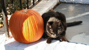 Fact or Fiction? Black Cats on Halloween
